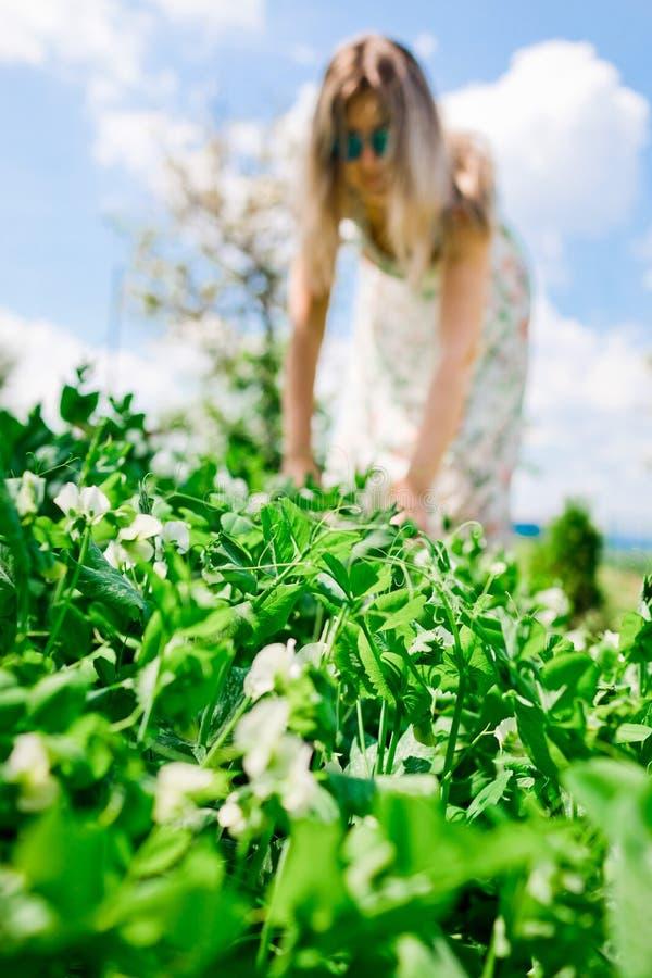 妇女农夫检查成熟豌豆-春天 免版税库存照片