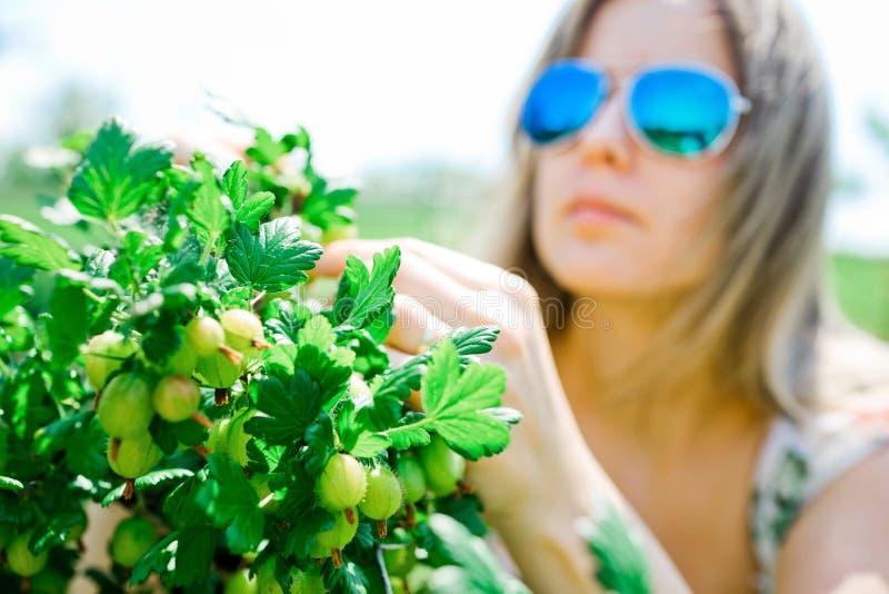 妇女农夫检查成熟鹅莓 库存照片