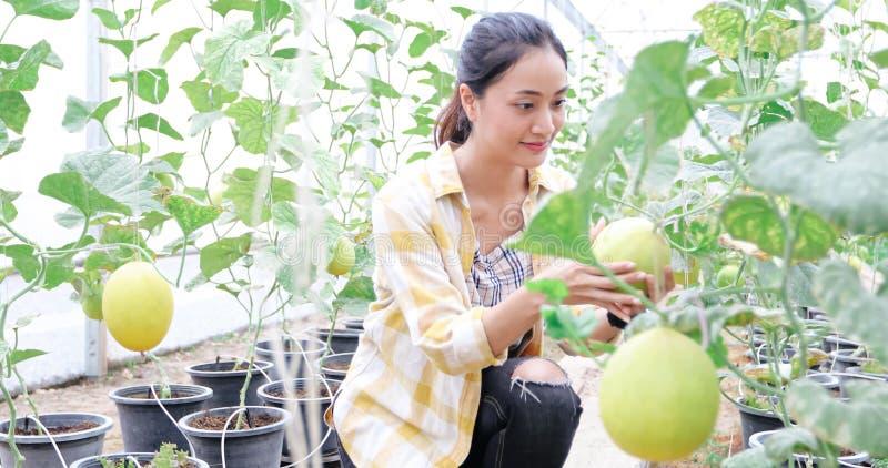 妇女农夫检查瓜质量自温室 免版税库存图片