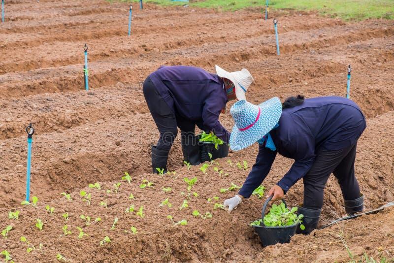 妇女农夫种植莴苣 图库摄影