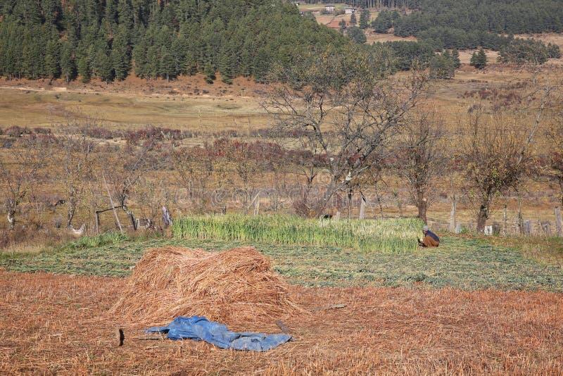 妇女切口五谷,不丹美丽如画的农厂场面  免版税库存照片