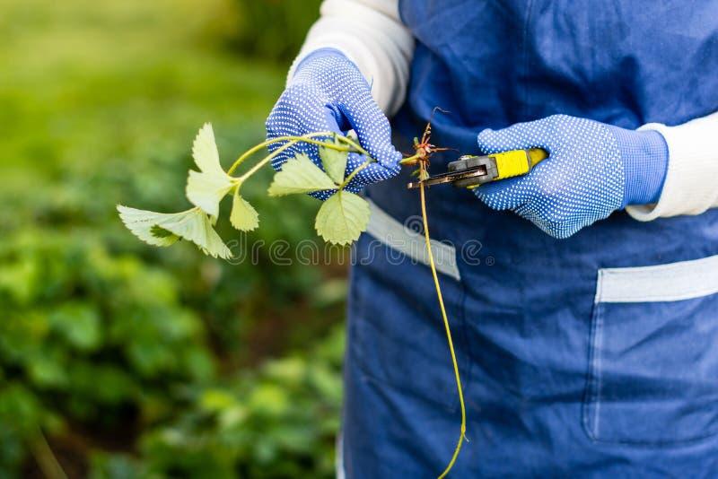 妇女切开从草莓植物的赛跑者 库存图片