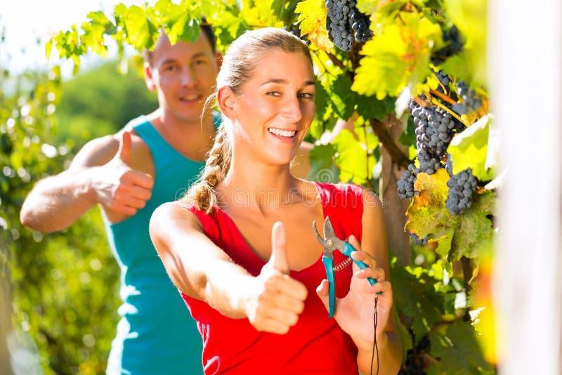 妇女和人种葡萄并酿酒的人采摘葡萄 库存照片