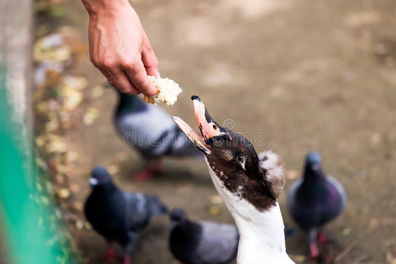 妇女哺养的鸭子 库存照片