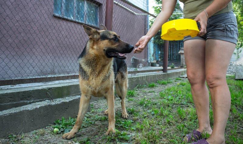 妇女在一个围场喂养一只德国牧羊犬 免版税库存图片