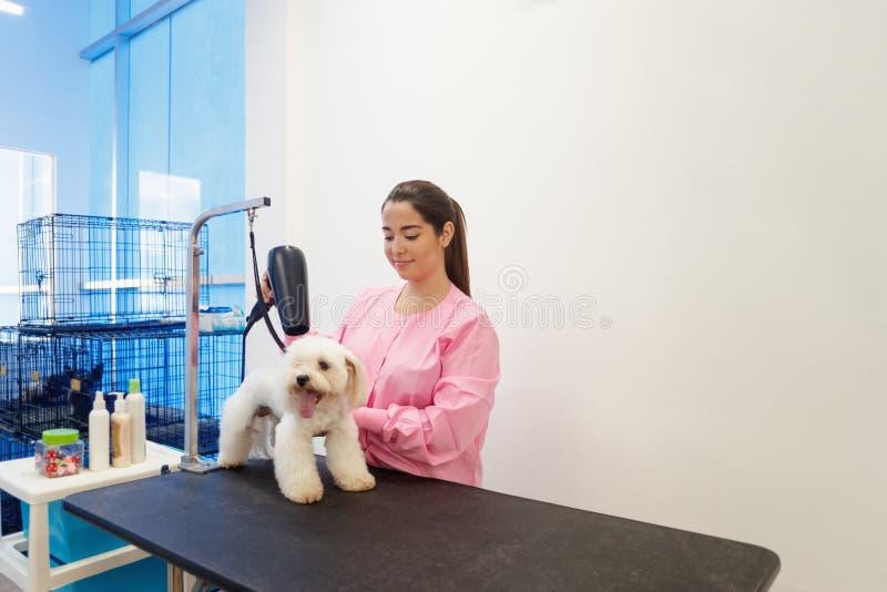 妇女在宠物商店和修饰狗的工作 免版税图库摄影