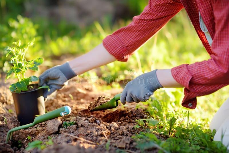 妇女在床上的种植幼木在庭院里在夏天好日子 有年幼植物的花匠手 园艺工具,手套和 免版税图库摄影
