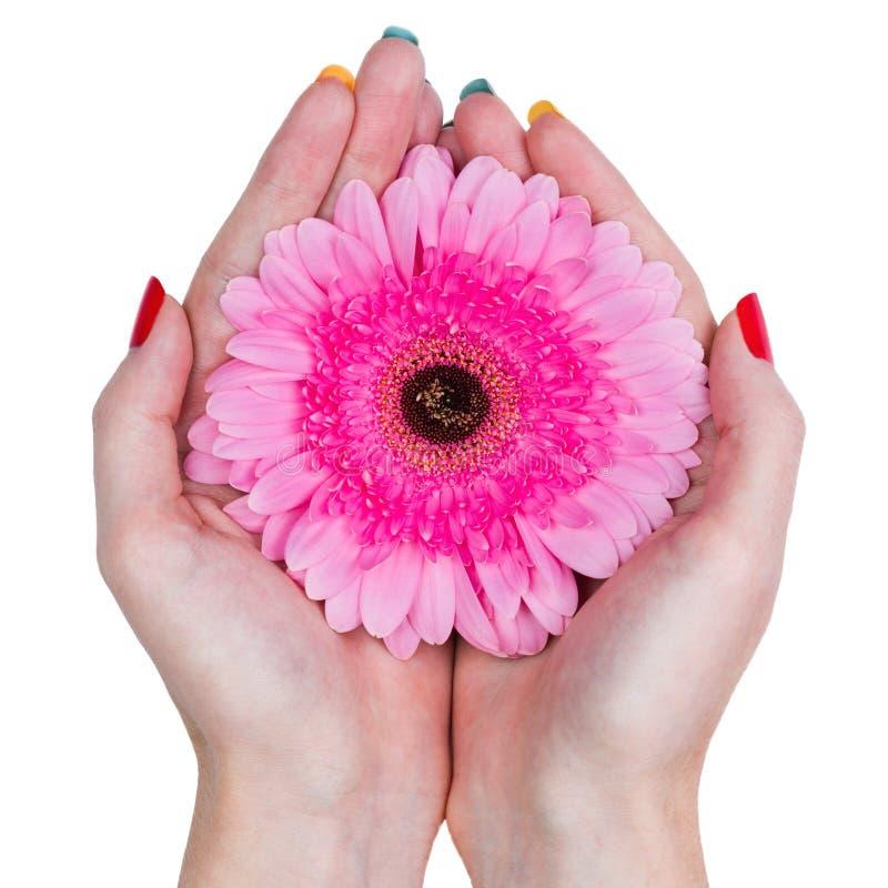 妇女在白色背景递拿着一朵桃红色花被隔绝 库存图片