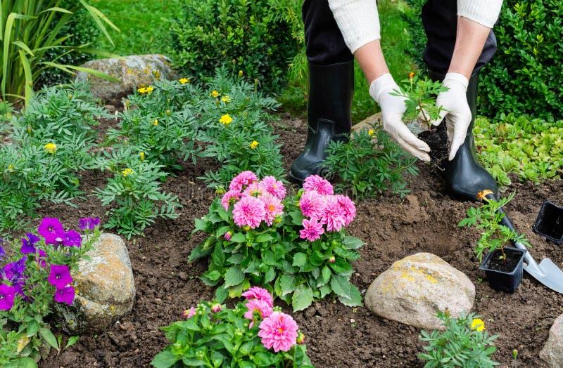 妇女在花园里种植万寿菊tagetes幼木 库存图片