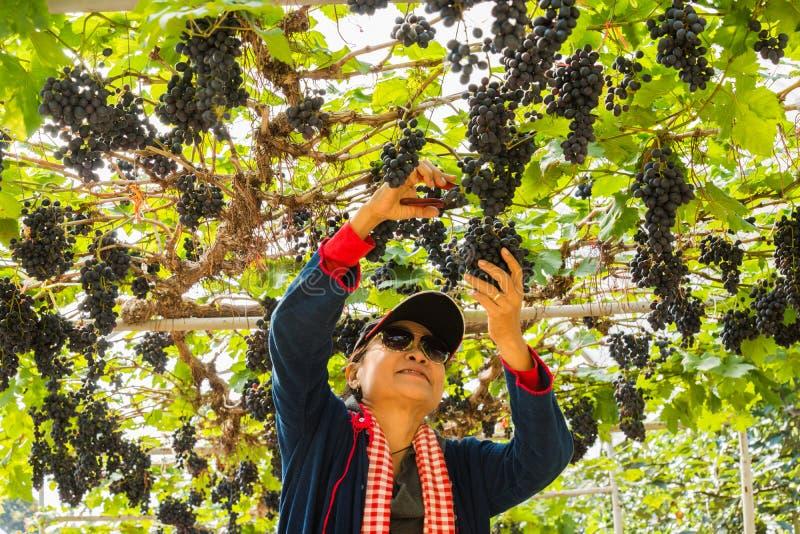 妇女在葡萄园里用果子和酒的有机新鲜的葡萄 库存图片