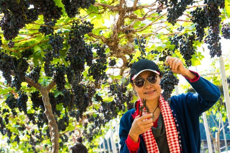 妇女在葡萄园里用果子和酒的有机新鲜的葡萄 图库摄影
