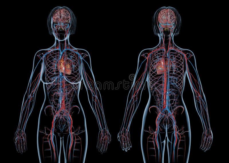 妇女心血管系统,后方和正面图 库存照片