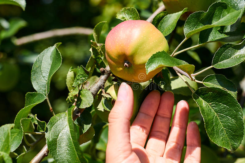 妇女手上升了和从树的劫掠新鲜的红色苹果 农村和健康概念 免版税图库摄影