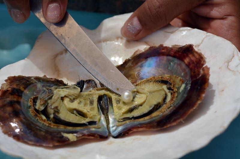 妇女手打开用与白色桃红色珍珠的刀子牡蛎 库存图片