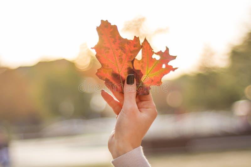 女性手拿着秋天枫叶.图片
