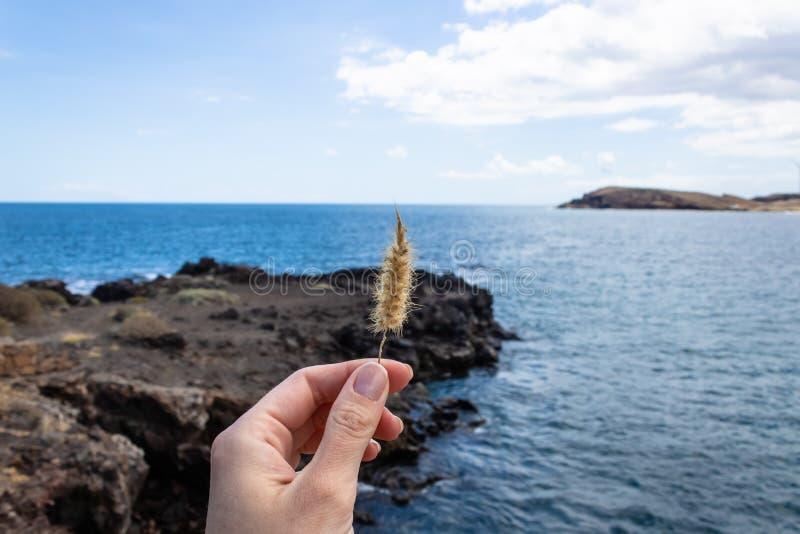 妇女手藏品猫尾巴草狼尾草setaceum有蓝色海洋背景,特内里费岛,加那利群岛,西班牙-图象 免版税图库摄影