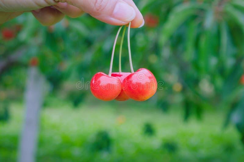 妇女整理和在手中拿着小组红色成熟樱桃在果子村庄,北海道,日本 免版税图库摄影