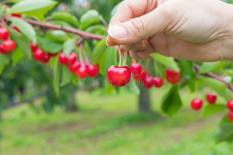 妇女整理和在手中拿着小组红色成熟樱桃在果子村庄,北海道,日本 免版税库存照片