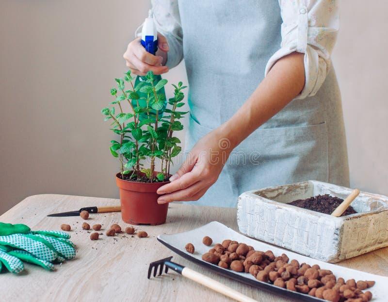 妇女水生薄荷植物在厨房里 库存图片