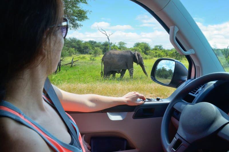 妇女游人徒步旅行队汽车假期在南非,看在大草原的大象 免版税库存图片