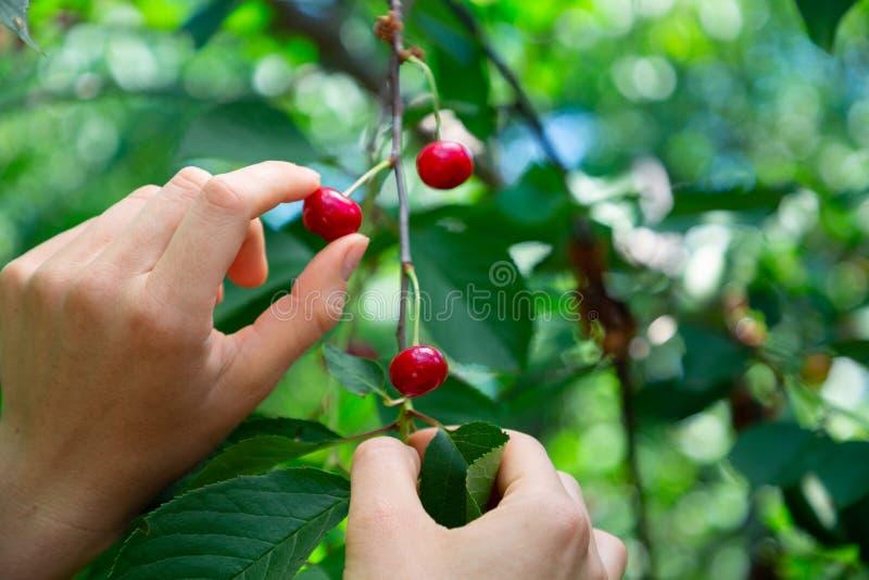 妇女的手从樱桃莓果的分支采摘 库存照片