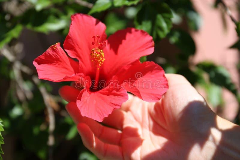 妇女的手在她的庭院里在充分的阳光下拿着一朵红色木槿花附有植物 库存图片