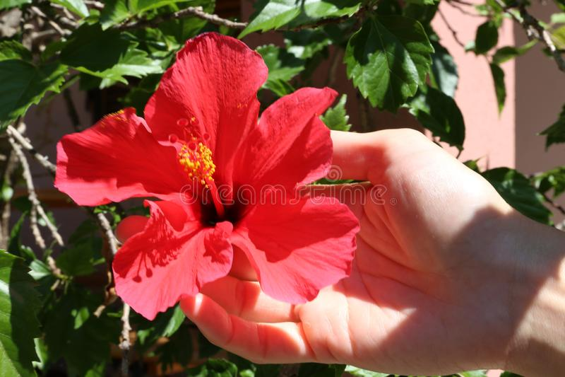 妇女的手在她的庭院里在充分的阳光下拿着一朵红色木槿花附有植物 库存照片