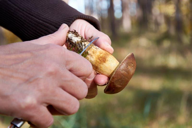 妇女的手清洁牛肝菌蕈类细节或采蘑菇一把刀子在森林在一个夏日 免版税图库摄影