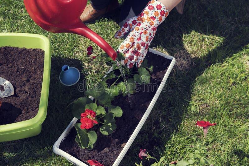妇女种植花adn的` s手浇灌与红潮罐头 库存图片