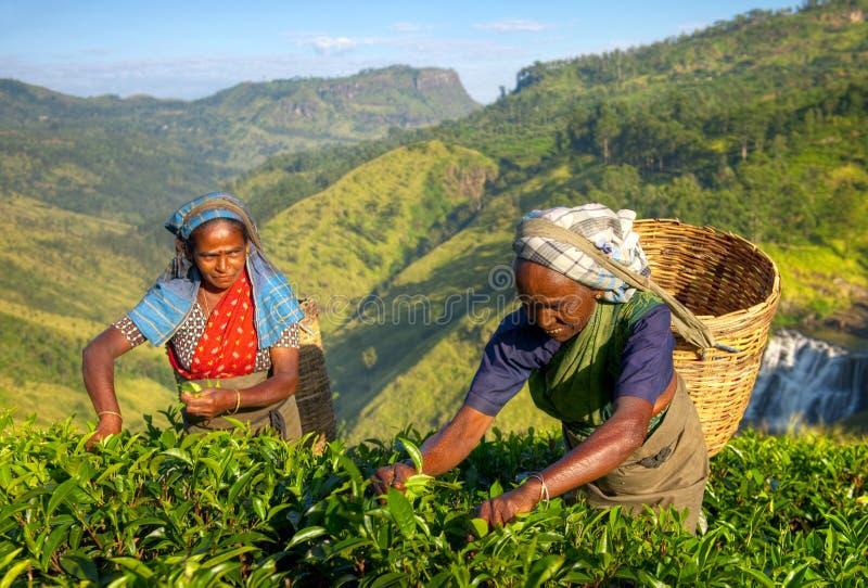 妇女茶捡取器在斯里兰卡 库存照片