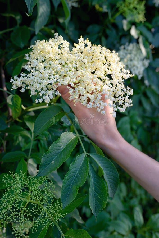 妇女被采摘的Elderflower甘露酒在庭院里 免版税库存照片