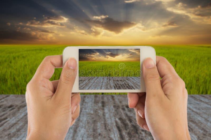 妇女递拿着在绿色米领域的空白的流动巧妙的电话 免版税库存照片