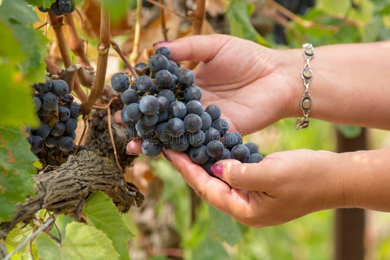 妇女递红葡萄酒黑暗的葡萄莓果,赞成酒holging的藤  免版税库存图片