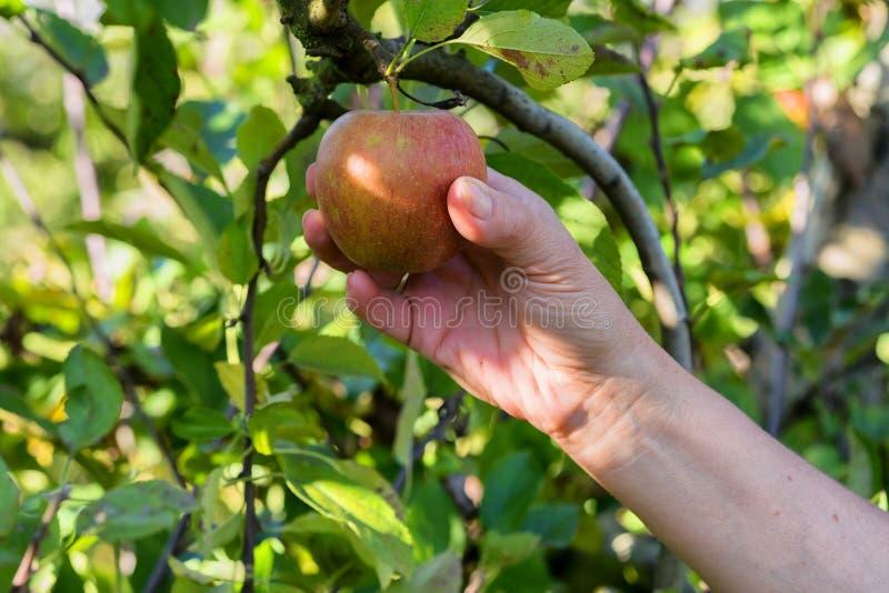 妇女采摘苹果在果树园 免版税库存照片