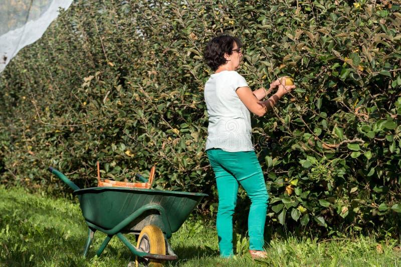 妇女采摘苹果在果树园 库存照片