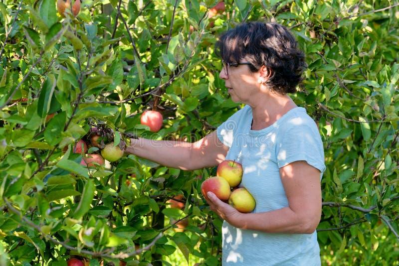 妇女采摘苹果在果树园 免版税库存图片