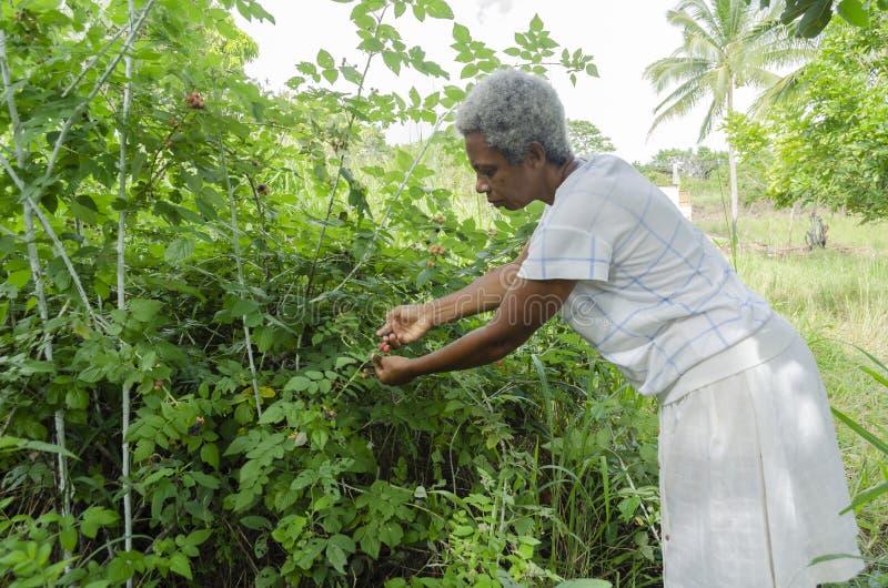 妇女采摘黑树莓 免版税库存照片