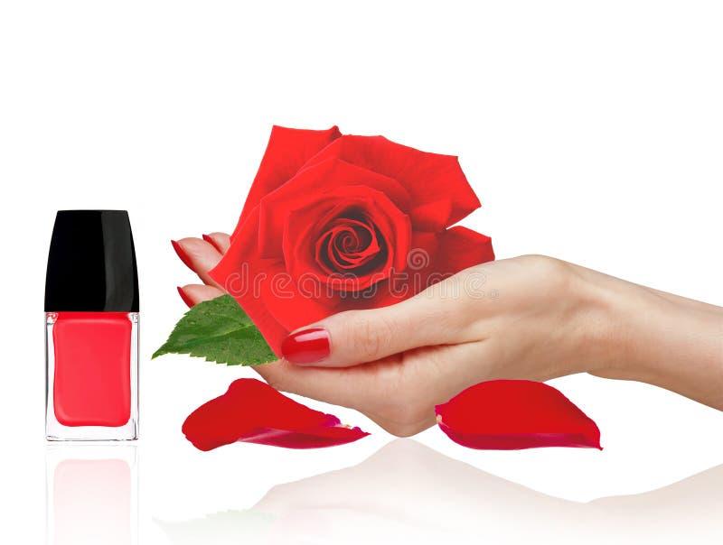 妇女韩,红色在白色隔绝的指甲油和瓣的罗斯 库存照片