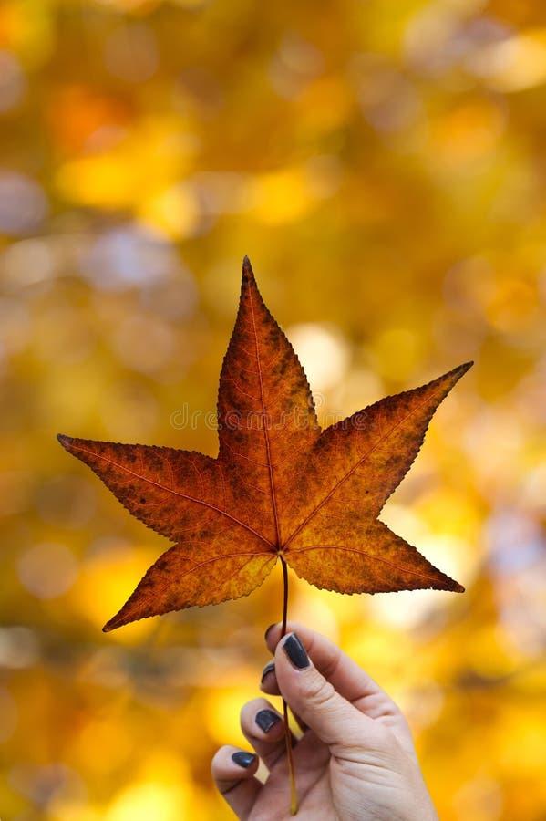妇女` s手拿着一片枫叶,背景的秋天森林 库存照片