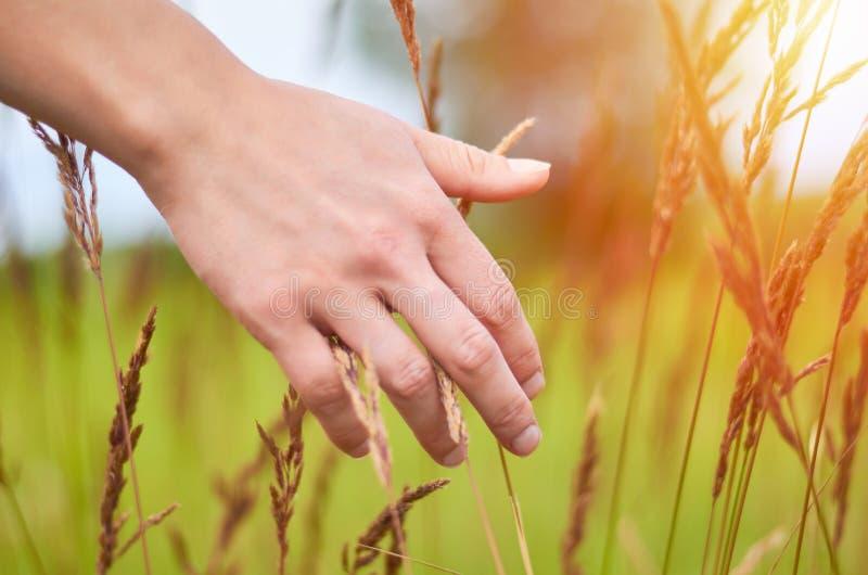 妇女` s手接触领域草和小尖峰在日落或日出 农村和自然概念 免版税库存照片