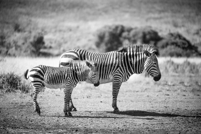 妈咪和宝贝斑马 免版税图库摄影