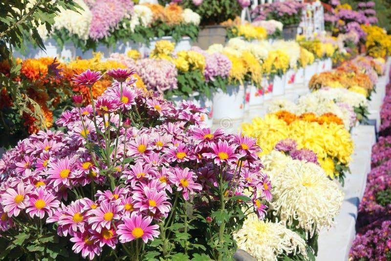 妈咪花分配为花坛的区域 免版税库存图片