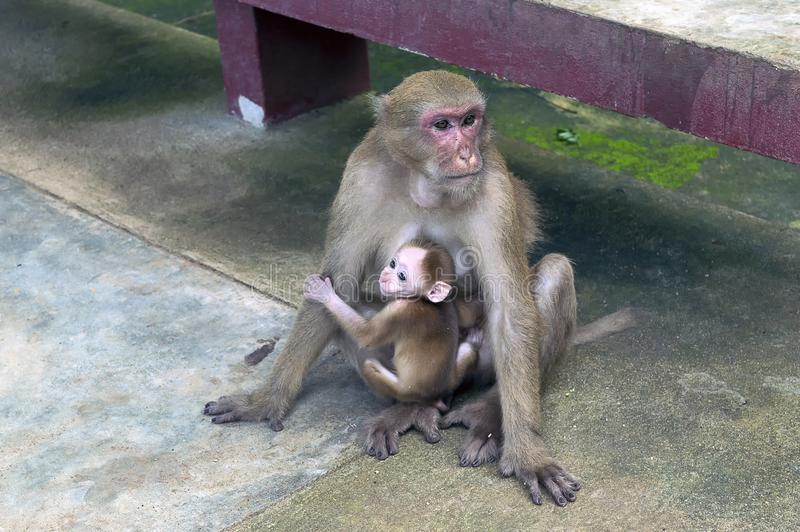 妈妈猴子和她小的猴子使在清莱nort的寺庙陷下 免版税库存图片