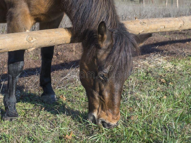 姜吃在草甸的褐色马头的Cllose草在早期的春天在布拉格公园,在眼睛的焦点 图库摄影