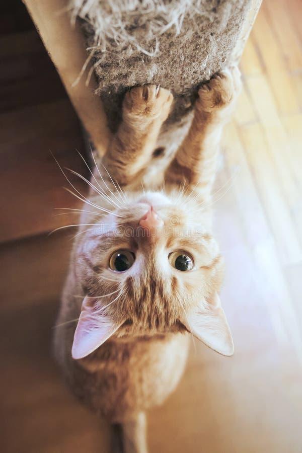 姜头发红色猫削尖它的爪 库存照片