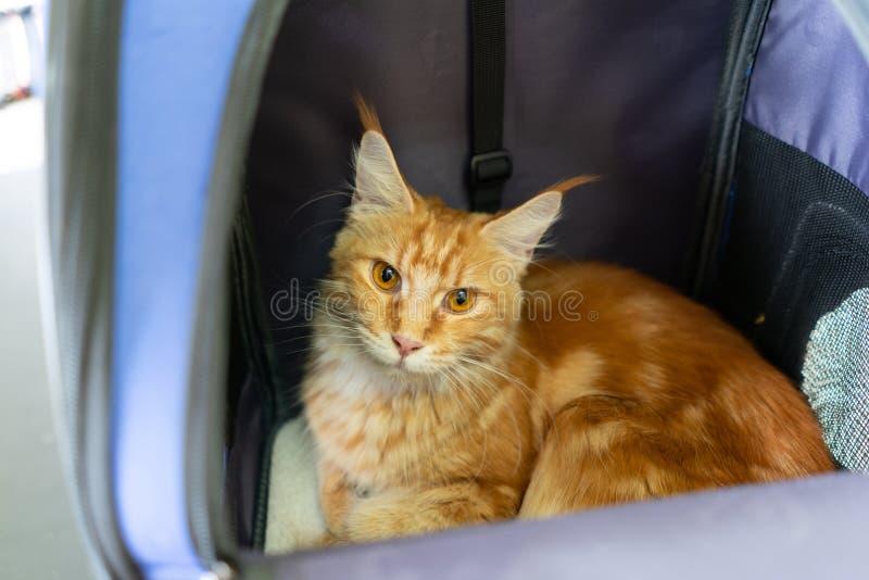 姜梅因猫坐在旅行车里,宠物或背包,在兽医诊所,看外袋 库存图片