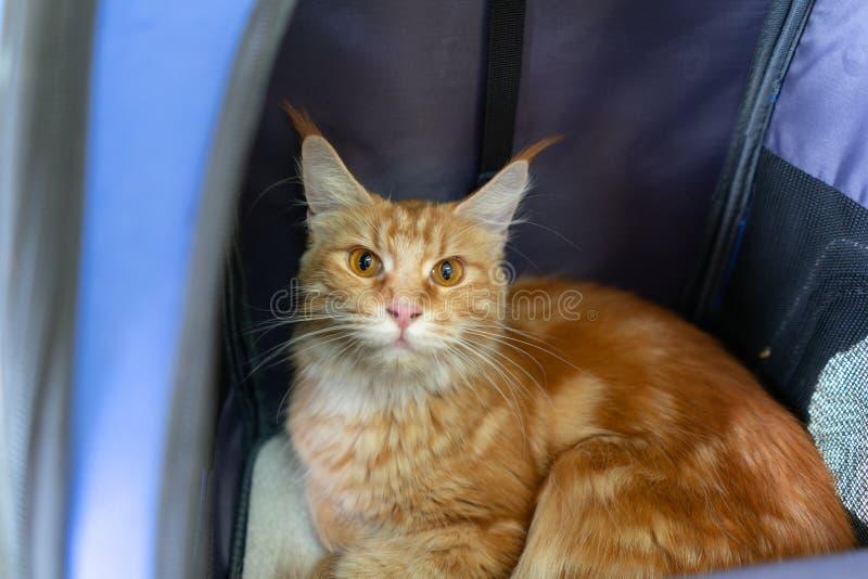 姜梅因猫坐在旅行车里,宠物或背包,在兽医诊所,看外袋 库存照片