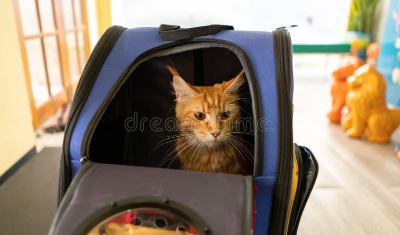 姜梅猫坐在旅行车宠物或背包里 免版税图库摄影