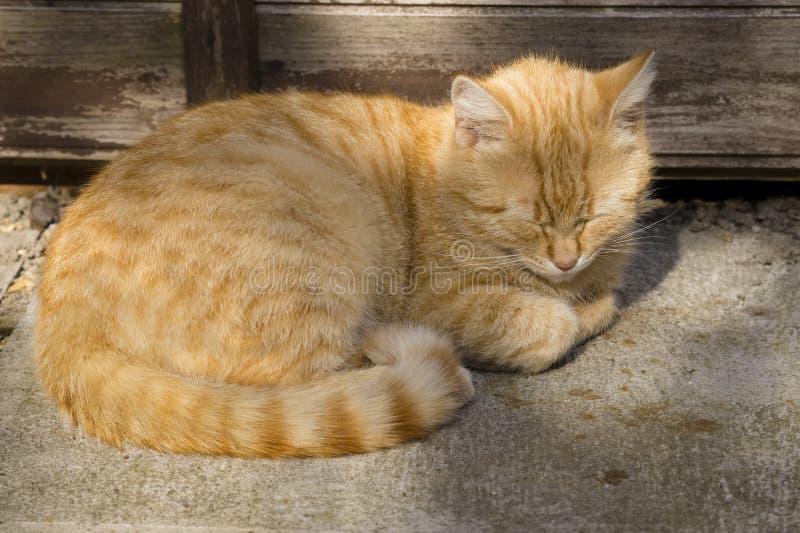 姜猫在地面上挤作了一团 库存图片