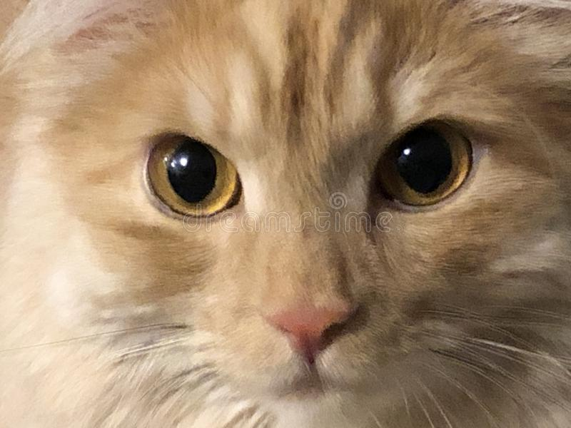 姜猫特写镜头的画象,黄色眼睛 库存图片